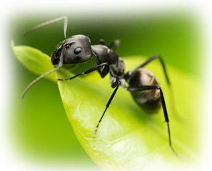 Image result for Black ant sex